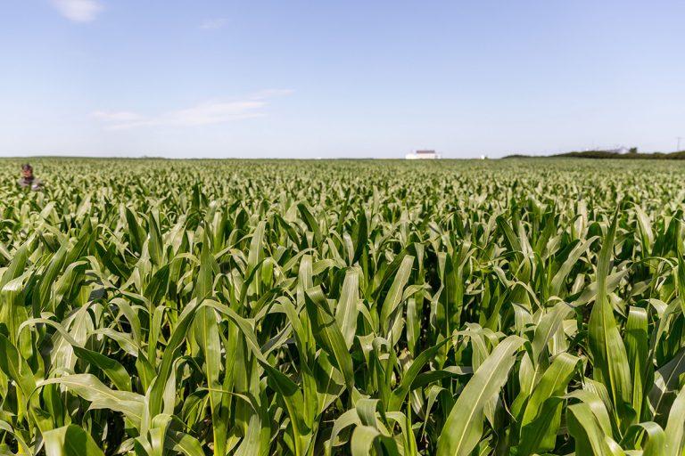 ViviGro Corn Field